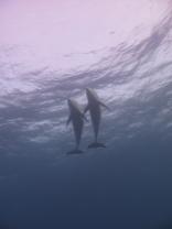 Bottlenose_dolphins_Belize_R_Cosgrove