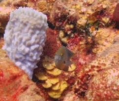 Damsel_Fish_Belize_R_Cosgrove