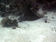 Eagle_Ray_Belize_R_Cosgrove