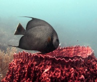 French_angelfish_Pomacanthus_paru_above_giant_barrel_sponge_Belize_R_Cosgrove