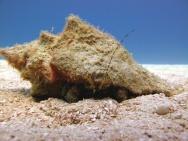 Giant_Hermit_Crab_Petrochirus_diogenes_Belize_R_Cosgrove