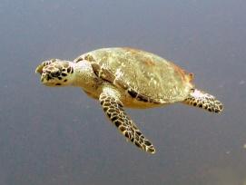 Loggerhead_turtle_2_Belize_R_Cosgrove