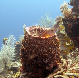 School_Master_Lutjenus_apodus_in_Giant_barrel_sponge_Belize_R