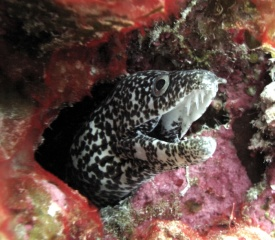 Spotted_Moray_Gymnothorax_moringa_Belize_R_Cosgrove